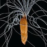 柳兰的种子.jpg