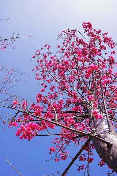 阿里山-楓葉落櫻花開