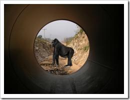 Gorilla Tunnel Vision