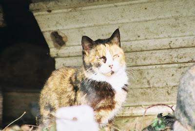 feral kitten calico girl cat