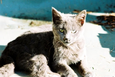Feral Kitten Blue, feral cat of the day photo