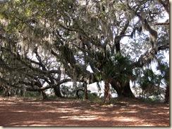 Moss Draped Live Oak