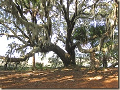 Live Oak at Creek