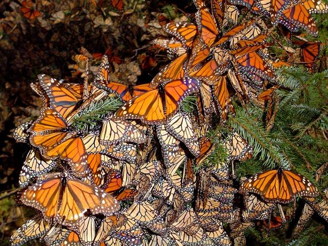 monarchs95