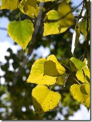 hojas de álamo-qpr