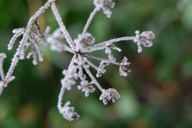 Frosty dill (2)