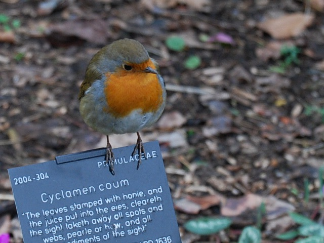 Kew robin