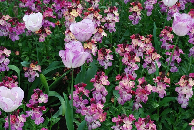 Kew tulips & wallflowers