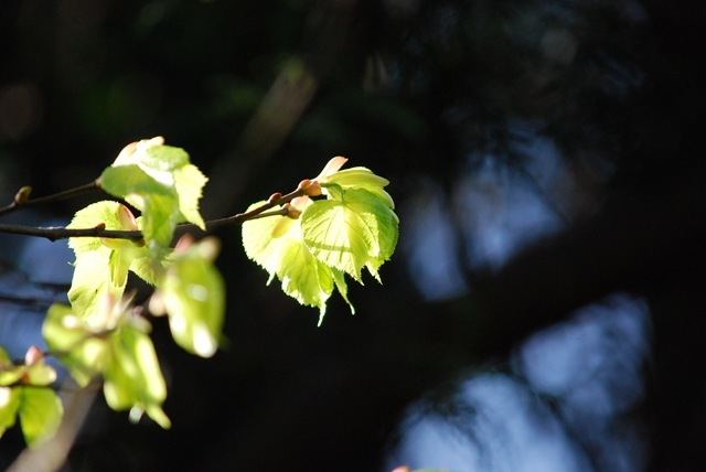 Spring sunlight on new leaves