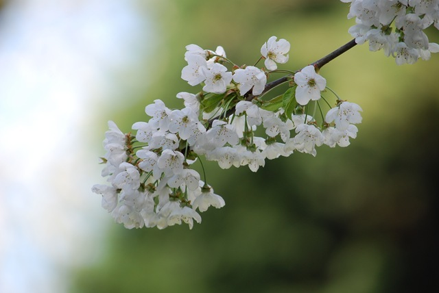 White blossom (2)