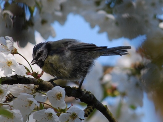 Baby blue tit on blossom