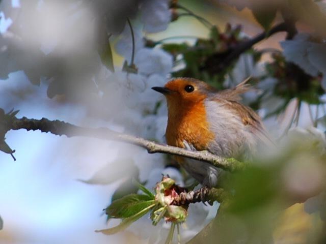Robin on blossom