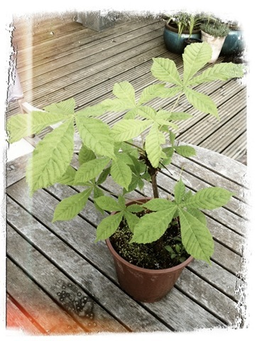 Tom's horse chestnut tree 2011 (2)