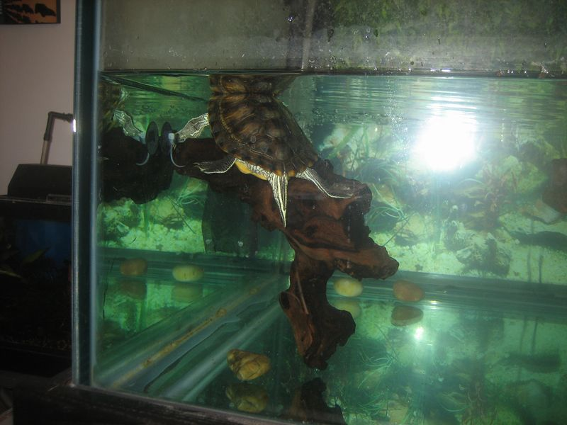underwater basking platform in aquarium with red ear slider turtle