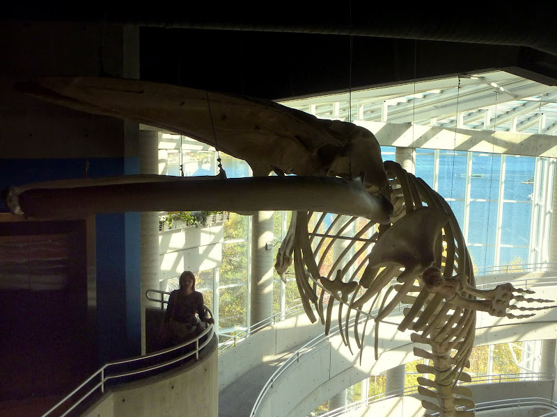 Fin whale skeleton at Science North