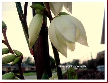 Yucca flower raindrop6
