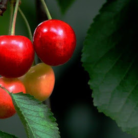 Four red bright Cherry by Nat Bolfan-Stosic - Nature Up Close Trees & Bushes ( cherry, tree, bright, four, young )