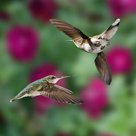 Combat by Lyle Gallup - Animals Birds ( two, nature, colorful, hummingbirds )