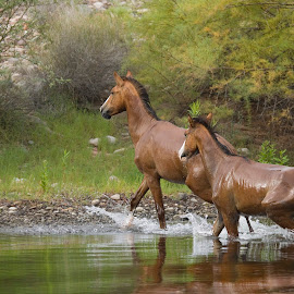 Wild Horses by Sue Cullumber - Animals Horses ( wild, nature, horse, arizona, wildlife, mammal, river, animal )