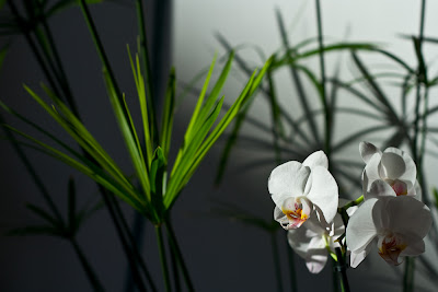 photo orchidées blanches et papyrus - photographie orchidée