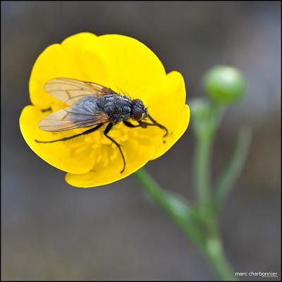 mouche sur une fleur jaune