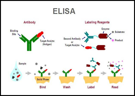 Antigen Antibody Reaction Elisa Bioscience Den: Enzyme...