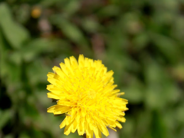 The Spring Journal: Dandelion Study