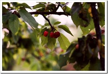 cherry-tree-2