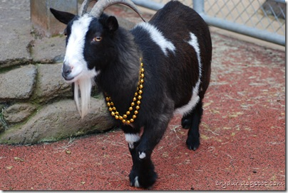 Goats love bling!