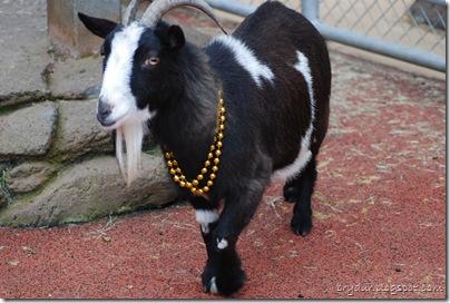 Goats love bling!