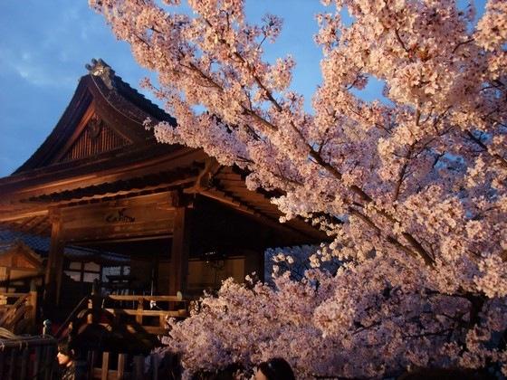開演前の観月舞台と桜