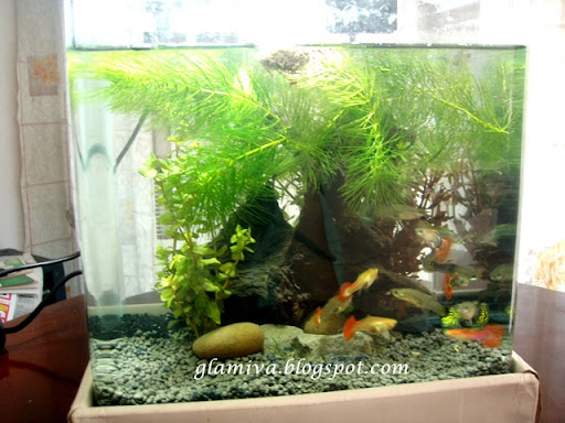 aquarium tank with guppy fish and snails