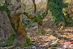 Çınar Ağaçları