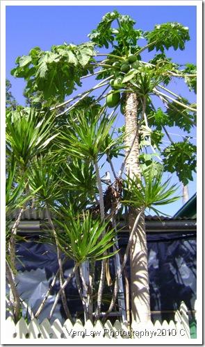 PapayatreeDSC01668(1)