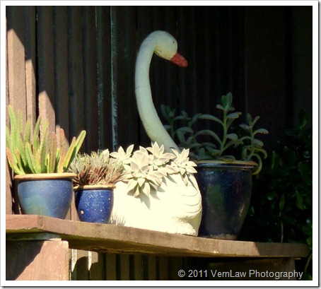 Swanp1000816