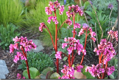early summer bergenia 003