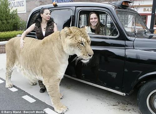 Hercules-liger4