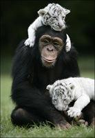 chimpance (10)