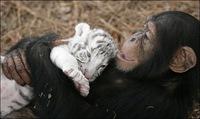 chimpance (9)