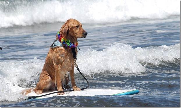 perros surf migallinero (5)