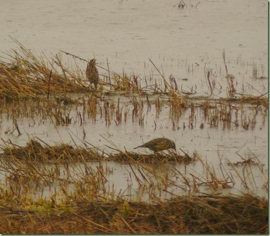 Meadowlarks1