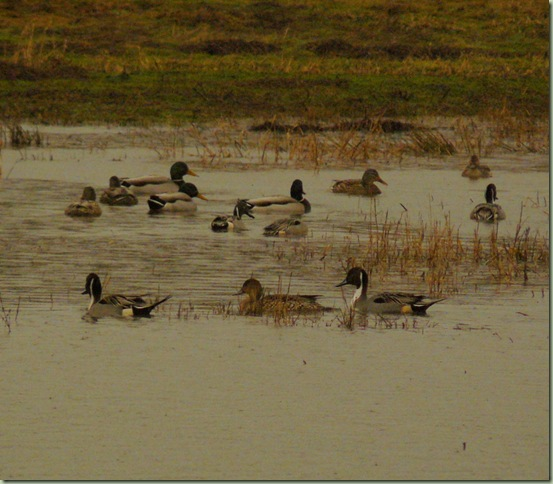 Pintails2