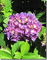 hydrangea clup 2 purple