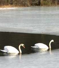 2.16.11swans swimming