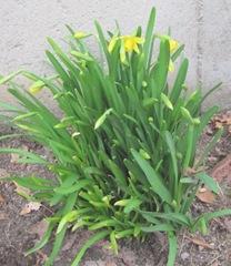 daffodils tete tete3.19.2011