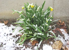daffodils 2011 in the snow