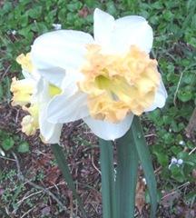 daffodils frilly2