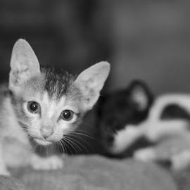 Curious... by Unmesh Mandal - Animals - Cats Kittens ( playing, cats, cat, kitten, playful, black and white, kittens, kitty )