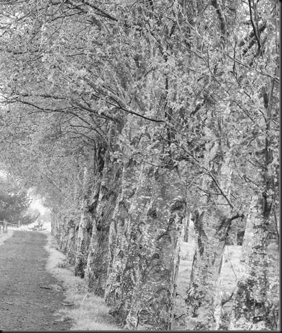 trees b & w