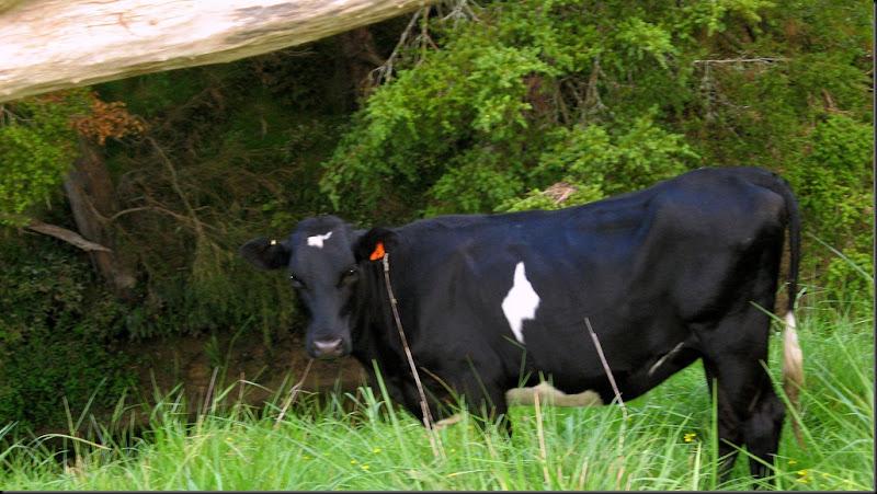 heifer 2010